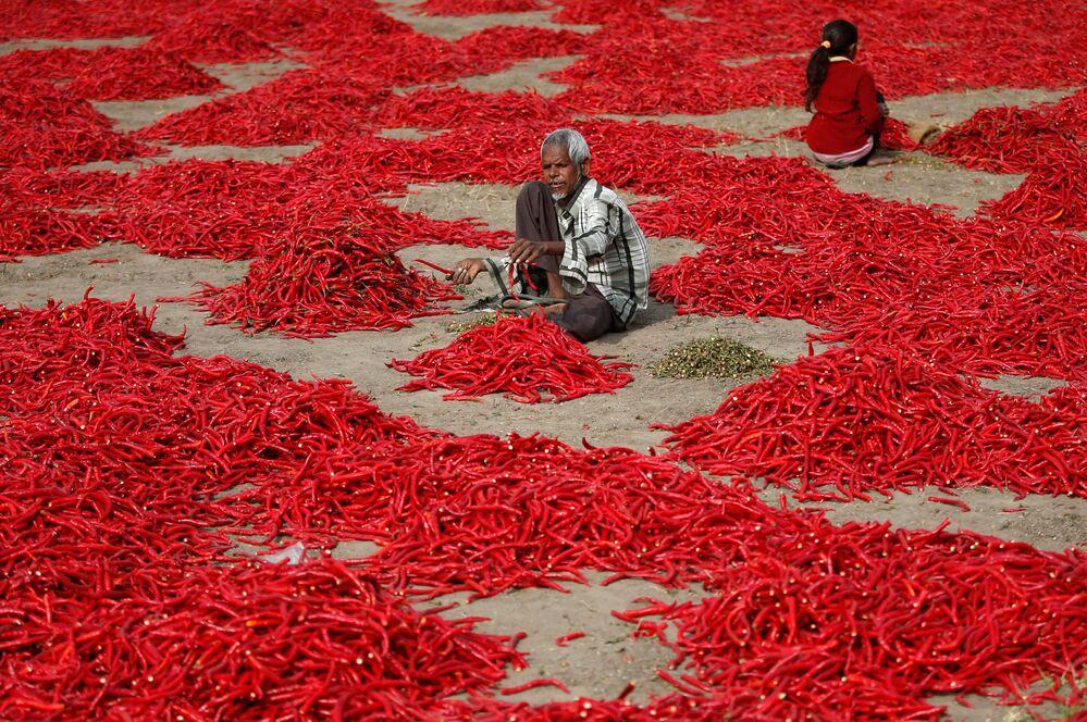 موسك حصاد الفلفل الأحمر الحار في شيرتا في ضواحي أحمد آباد، الهند 5 فبراير/ شباط 2018