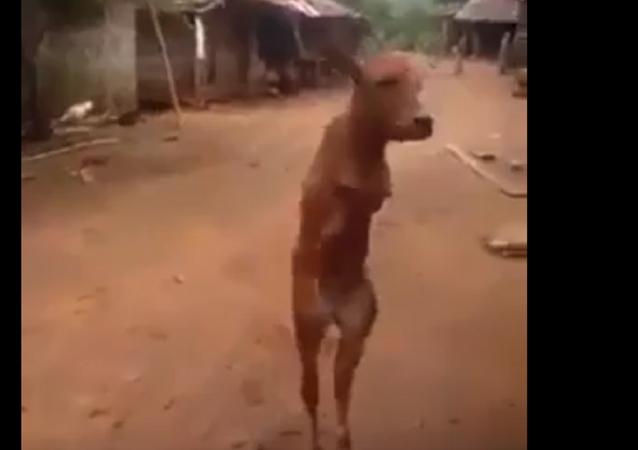 بقرة تسير على ساقين