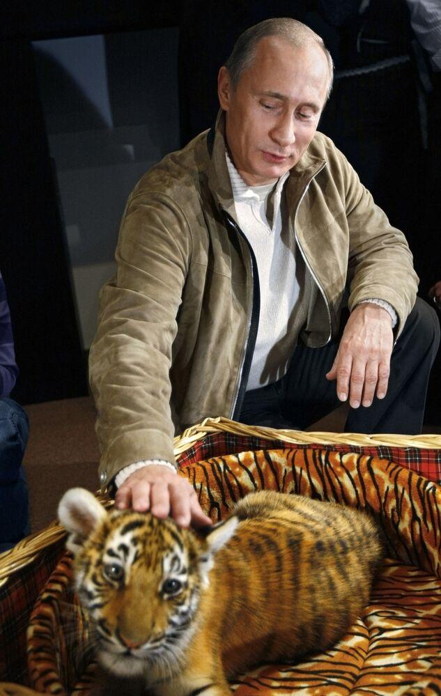 رئيس الوزراء الروسي فلاديمير بوتين يعرّف الصحفيين على نمر آمور الصغير (شهرين ونصف) الذي أهدوه له كهدية عيد ميلاد (9 أكتوبر)، نوفو-أوغاريفو، روسيا  10 أكتوبر/ تشرين الأول 2008