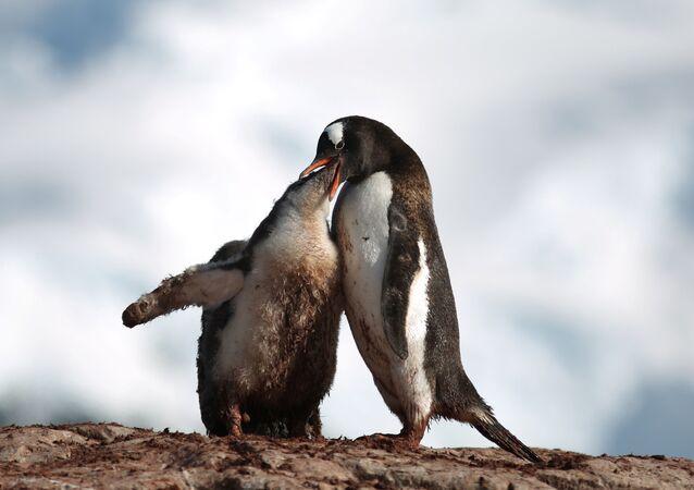 بطريق يطعم صغيره على جزيرة كوفيرفيل في أنتاركتيكا (القطب الجنوبي)، 15 فبراير/ شباط 2018