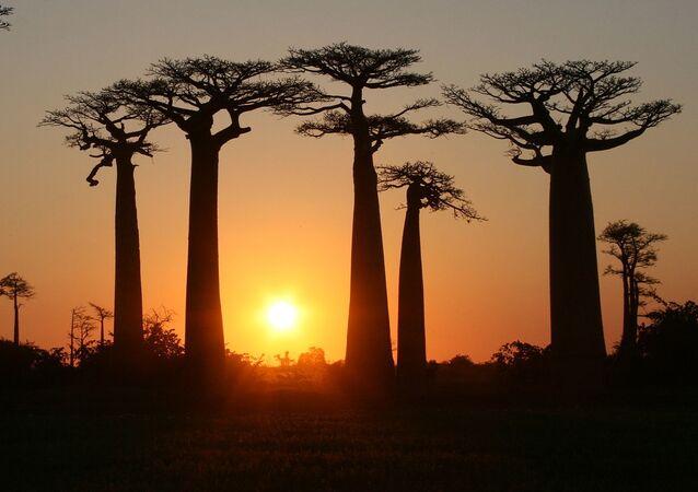 ممر يؤدي إلى غابة باوباب في مدغشقر. تنمو هذه الأشجار على طول طريق ترابي بين مدينتي صغيرتين موروندافا وبيلوني تسيريبيخينا في منطقة مينابي