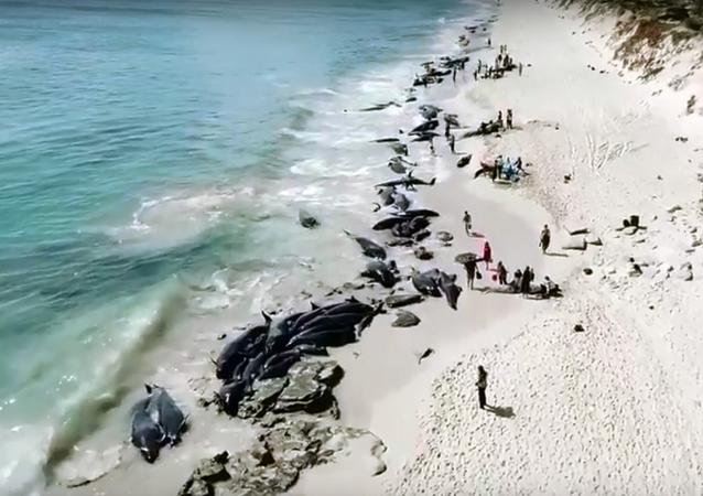 جنوح أكثر من 150 حوت على السواحل الاسترالية