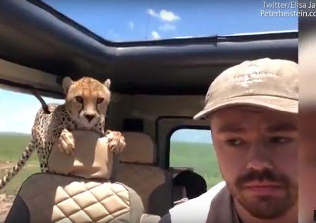 فهد يقفز إلى السيارة في تنزانيا