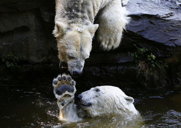 الدببة القطبية تلعب بالماء في حديقة الحيوانات تييربارك في برلين، ألمانيا 8 مايو/ أيار 2018