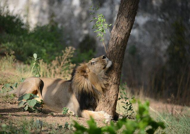 أسد آسيوي يستظل بشجرة في يوم صيفي حار في حديقة الحيوانات كاملة نهرو في أحمد آباد، الهند 13 مايو/ أيار 2018