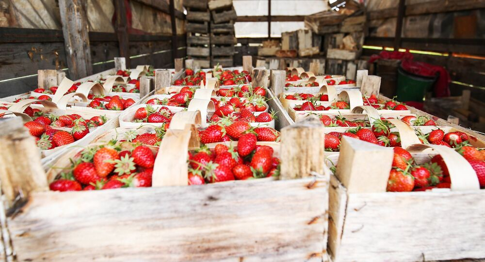 موسم حصاد الفراولة في كراسنودارسكي كراي، روسيا