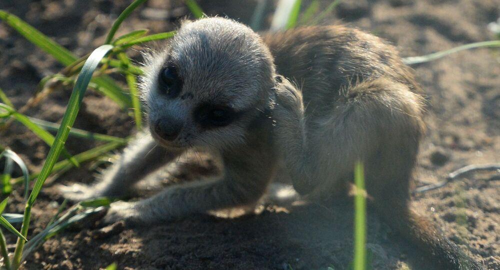 صغير (حديث الولادة) السرقاط (أو الميركات) في حديقة موسكو للحيوانات