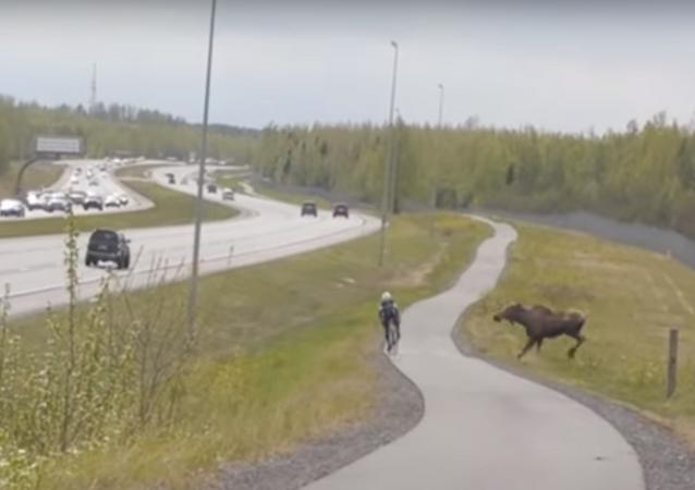 الأيل يهجم على سائق دراجة