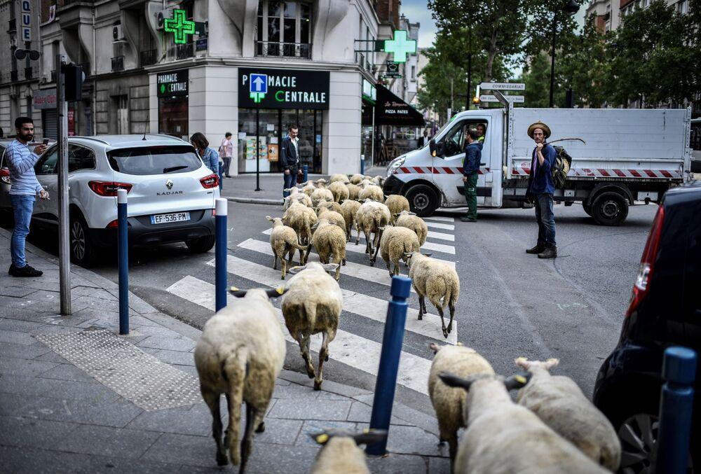 راعي الأغنام يساعد على عبور قطيعه شارعا في باريس، فرنسا 13 يونيو/ حزيران 2018