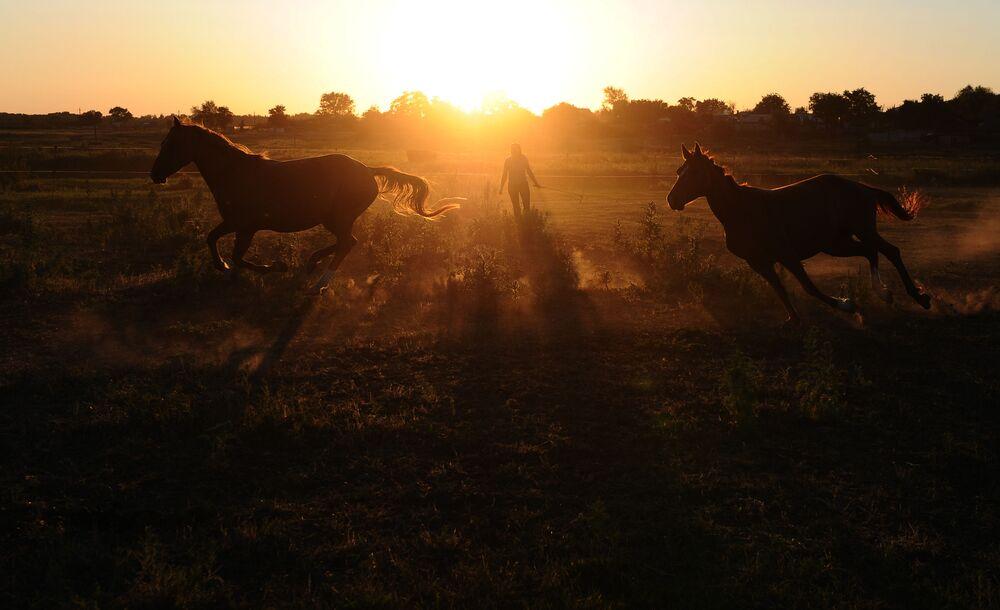خيول في مركز الفروسية لإعادة تربية خيول من فصيلة دونسكايا في منطقة روستوف الروسية