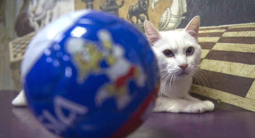القط الروسي أخيل يتوقع فوز المنتخب الروسي على المصري