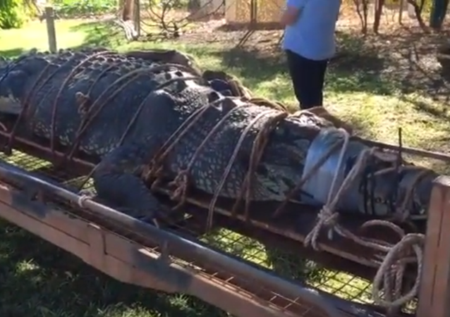 بعد 8 سنوات من التربص... صيد تمساح عملاق