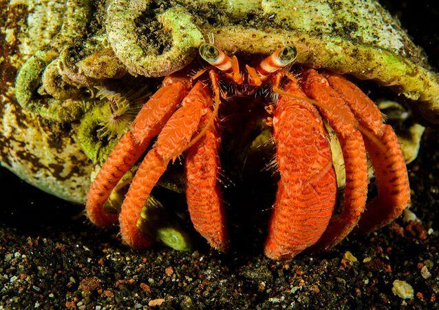 السلطعون الناسك (Dardanus calidus). غطس ليلي في مياه ميناء سالينا، الجزر الأيولية، صقلية، إيطاليا. بعثة الجزر الأيولية، 2018