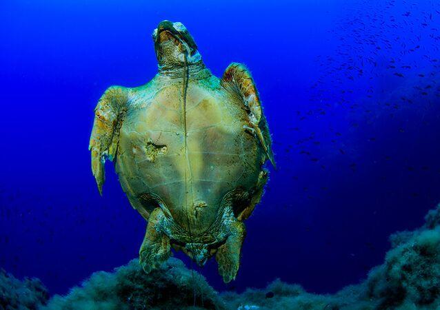 سلحفاة بحرية ضخمة الرأس (Caretta caretta) بونتا سيلا كاستانا ، ليباري، الجزر الأيولية، صقلية، إيطاليا