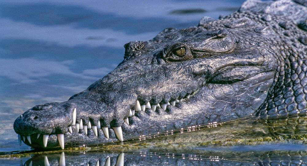 تمساح ضخم يمنع مرور سيارة في أستراليا