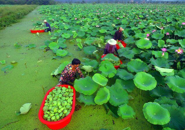 حصاد بذور لوتس على بحيرة في بلدة تانتشنغ، الصين 1 أغسطس/ آب 2018