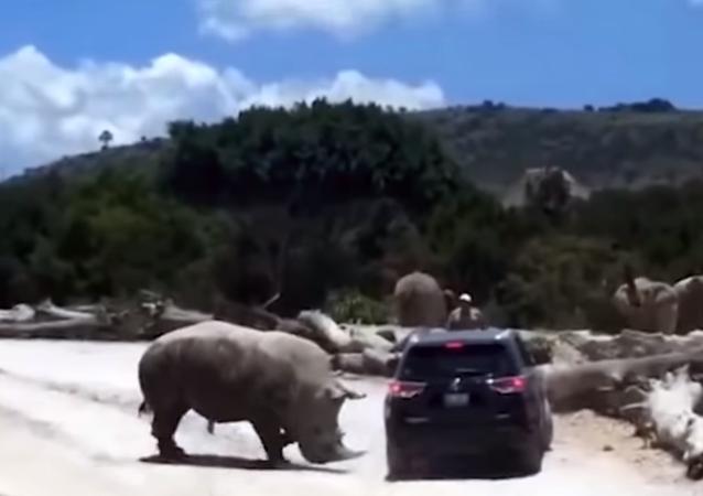 وحيد القرن يهاجم سيارة سياح بوحشية