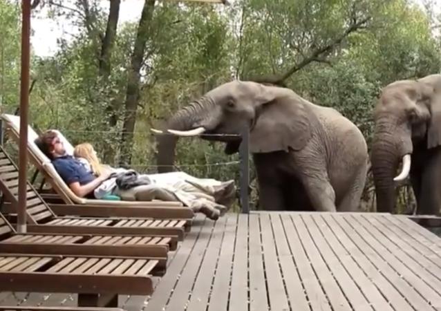 شاهد ماذا فعل 3 فيلة ضخمة بزوجين في حمام السباحة
