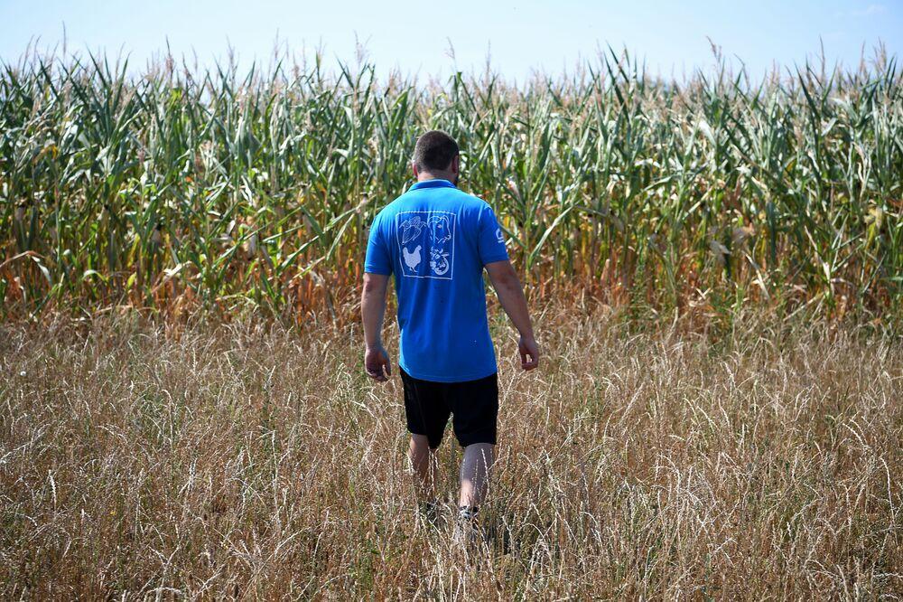 مزارع يسير وسط حقل ذرة يغطيه الجفاف في ميتسشدورف (Mitschdorf) شرق فرنسا 6 أغسطس/ آب 2018
