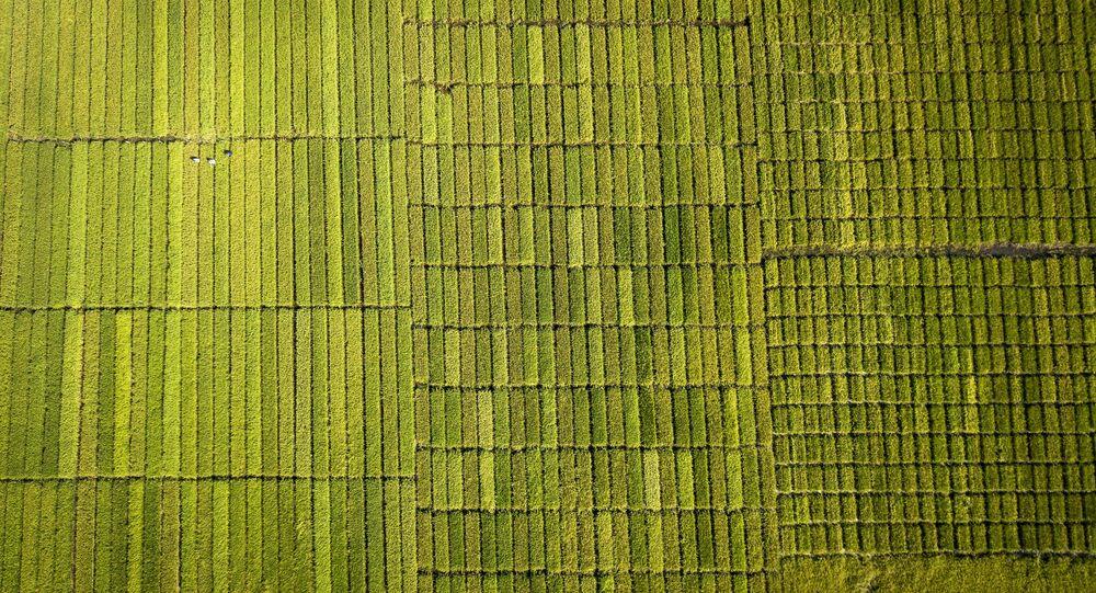 زراعة الأرز