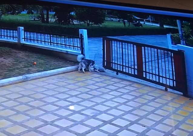 كلبان يحطمان بوابة حديدية في عملية هروب مدروسة