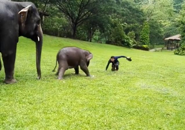 فيل صغير يقلد البشر في التزحلق على العشب الرطب
