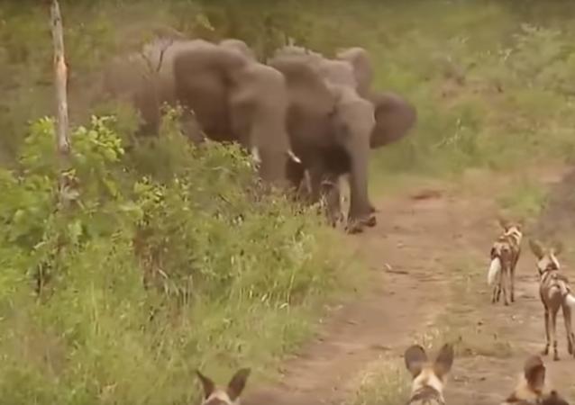 معركة بين فيل و ضبع