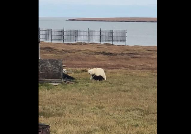 كلب شجاع يواجه دب قطبي ضخم ويجبره على الهروب