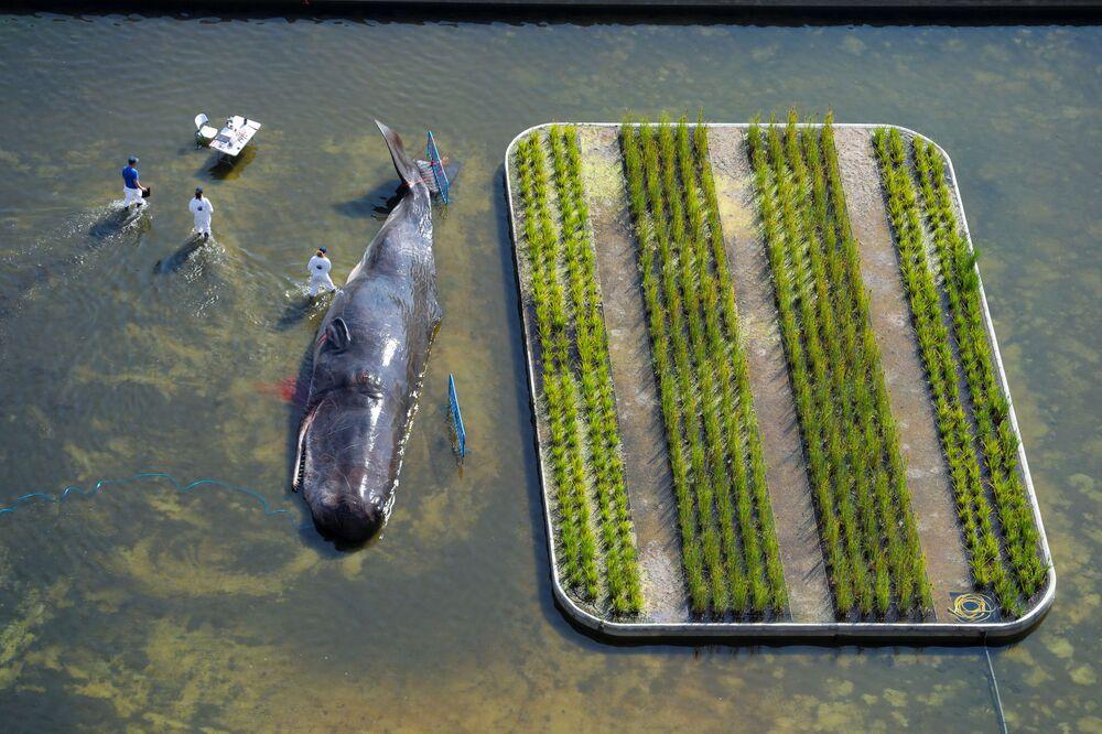 مجموعة فنانين Captain Boomer البلجيكية يقومون بمحاكاة عملية إنقاذ حوت، في إطار البرنامج الثقافي على نهر مانازناريس في مدريد، إسبانيا 14 سبتمبر/ أيلول 2018