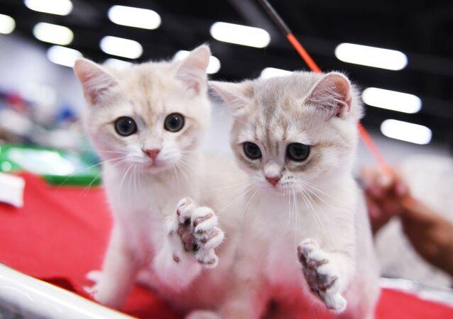 قطط من فصيلة بريطانية خلال المعرض  الدولي زفيزدا 2018 للقطط في موسكو