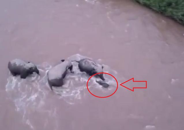 فيديو مؤثر لثلاثة فيلة يقومون بانقاذ فيل صغير من غرق محتم