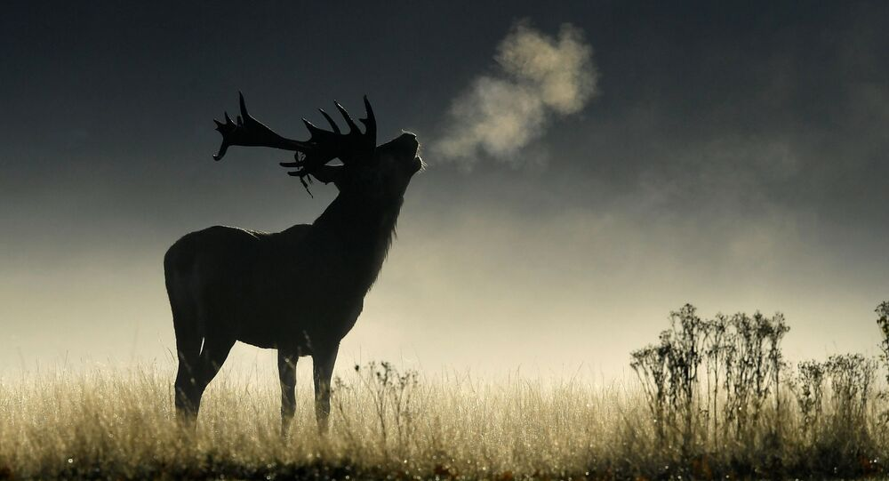أيل الغزلان تنبأ في ضوء الصباح الباكر خلال موسم الحفر في حديقة ريتشموند، غرب لندن، بريطانيا 26 سبتمبر/ أيلول 2018
