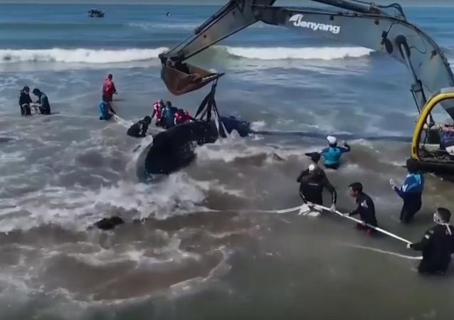 عملية إنقاذ حوت