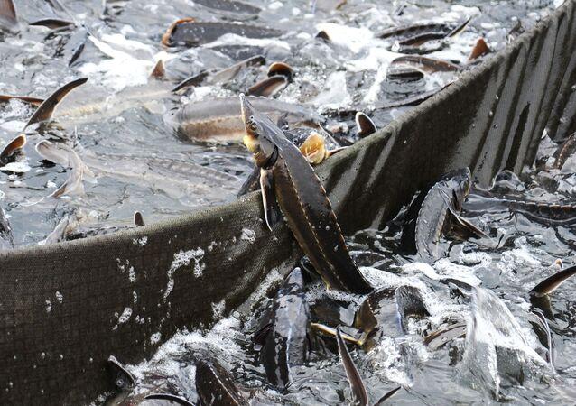 سمك الحفش على حافة القفص في مجمع لأسماك الحفش في تامبوف الروسية