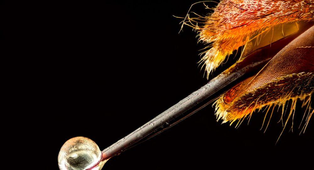 صورة دبور آسيوي مع لدغة سامة، للمصور بيير أنكيت، الحائزة على المرتبة الـ 16 في المسابقة