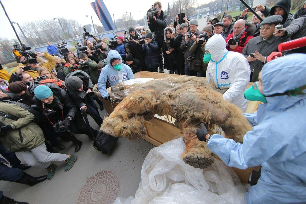 احضار حيوان الماموث الصغير يوكو الياكوتي إلى متحف موسكو