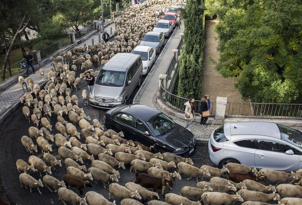 هجرة الخرفان السنوية عبر العاصمة الإسبانية مدريد