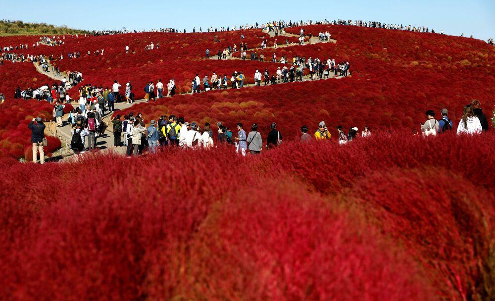الحقول المزهرة في حديقة هيتاتشي في مدينة هيتاتشي-ناكا، اليابان 22 أكتوبر/ تشرين الأول 2018