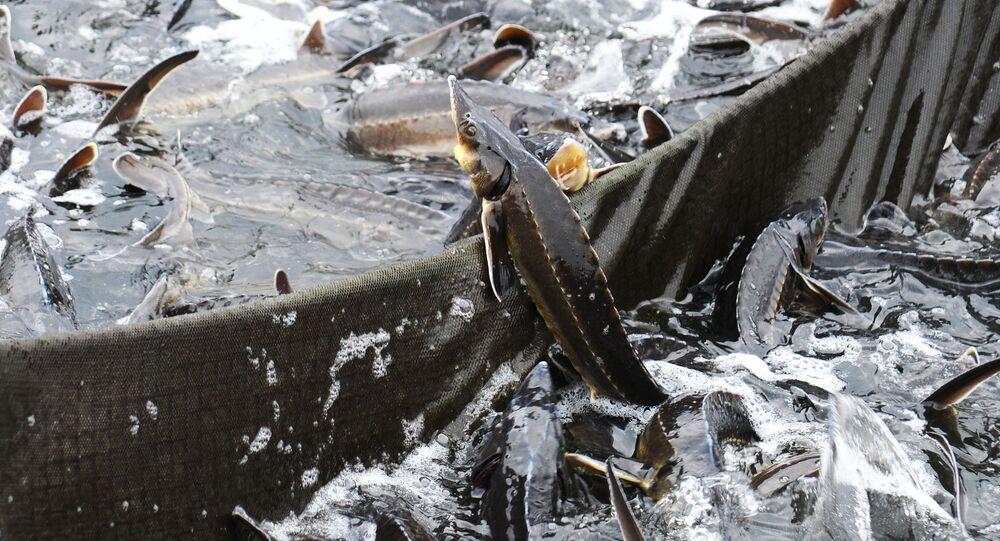 سمك الحفش يقفز إلى الشباك في مجمع لصيد الأسماك في تامبوف