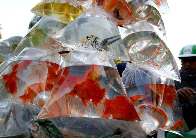 أسماك الزينة للبيع في أكياس بلاستيكية في شارع في هانوي، فيتنام 30 أكتوبر/ الأول 2018