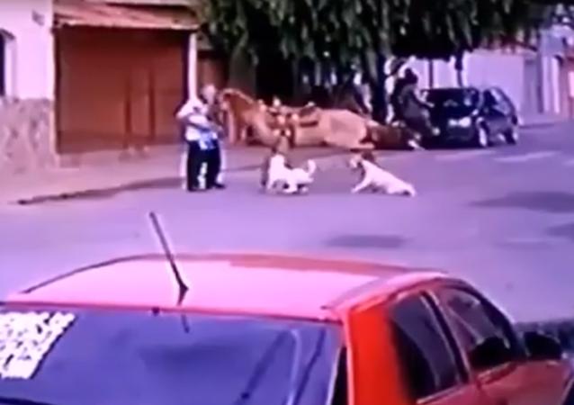 حصان يفوز على كلبين من أقوى كلاب العالم