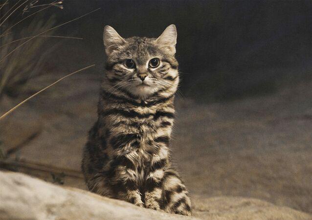 قطة سوداء القدمين