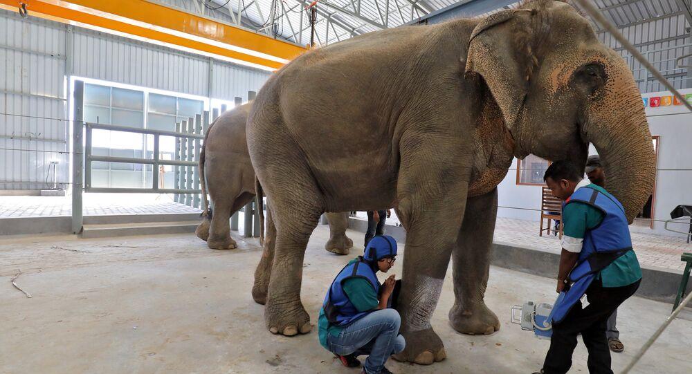أطباء بيطريون يجريان أشعة على ساق أنثى فيل في أول مستشفى للفيلة في الهند