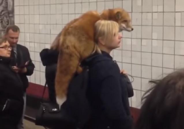 فتاة تحمل على كتفها ثعلبا ضخما