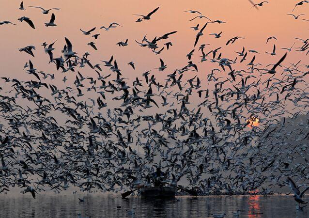 سرب من طيور النورس يلحق فوق نهر جمنة في نيودلهي، الهند 21 نوفمبر/ تشرين الثاني 2018
