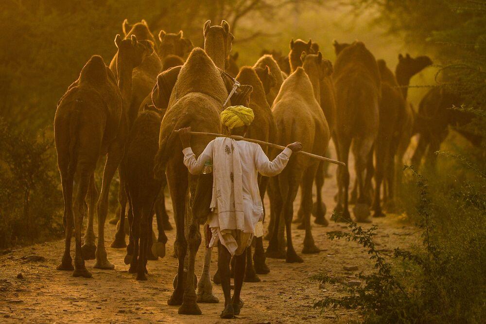 راعي جمال يقود جِماله إلى معرض الجمال في بوشكار، الهند