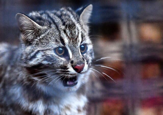 لأول مرة، منذ 30 عاما، ظهر قط الغابة في حديقة موسكو للحيوانات