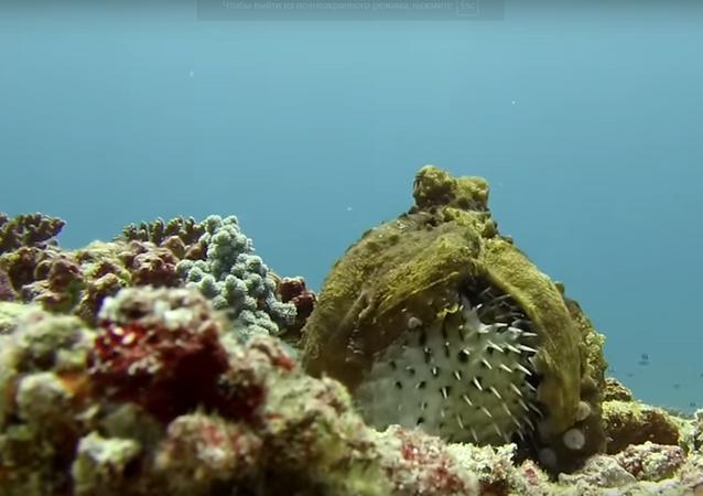 أخطبوط والسمكة المنتفخة في المحيط الهندي