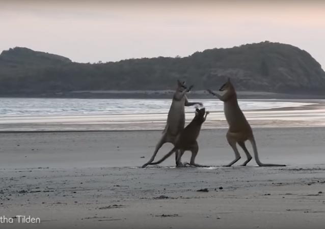 الكنغر على شواطئ أستراليا