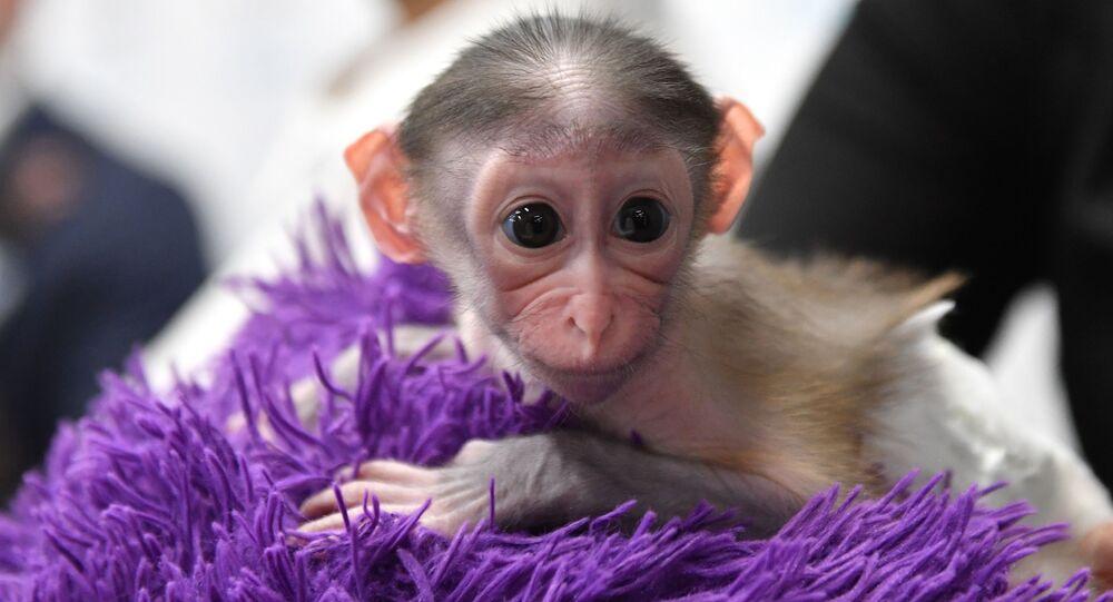 قرد صغير، ولد في 1 نوفمبر/ تشرين الثاني، في حديقة الحيوانات كوكب القرود والقطط البرية